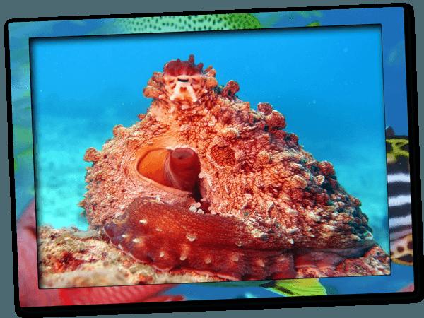 Octopus | Dive site Wattabomie at Mnemba Island Marine Conservation Area in Zanzibar