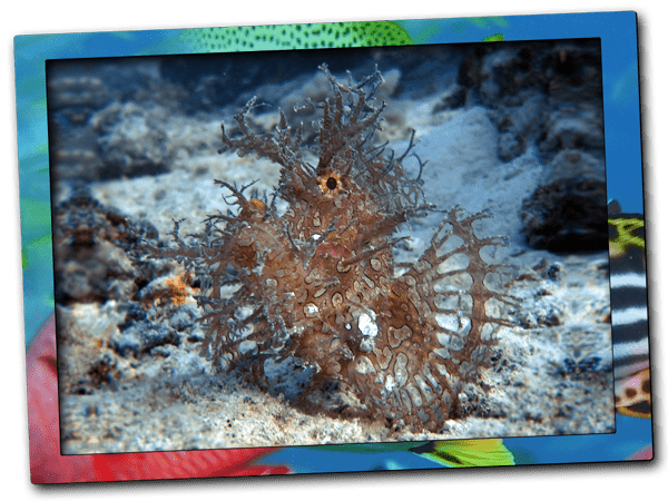Weedy scorpionfish | Dive site Shane´s reef at Nungwi reef in Zanzibar